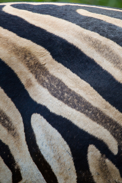 Stripe detail of the fur of a plains zebra (Equus quagga). Taken in the Imfolozi Game Reserve, South Africa, Africa.