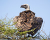 A cape vulture (Gyps coprotheres). Taken in the Imfolozi Game Reserve, South Africa, Africa. The bird is also known as a griffon vulture or Kolbe's vulture. The species is listed as vulnerable on the IUCN Red List of Threatened Species at iucnredlist.org.