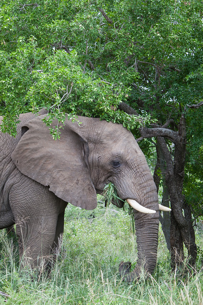An African elephant (Loxodonta africana) with the twisted trunks of a tree. Taken in Imfolozi Game Reserve, South Africa, Africa.