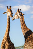 Two South African giraffe (Giraffa camelopardalis giraffa) males take a break to look at each other, in between bouts of sparring. Taken in the Imfolozi Game Reserve, South Africa, Africa.