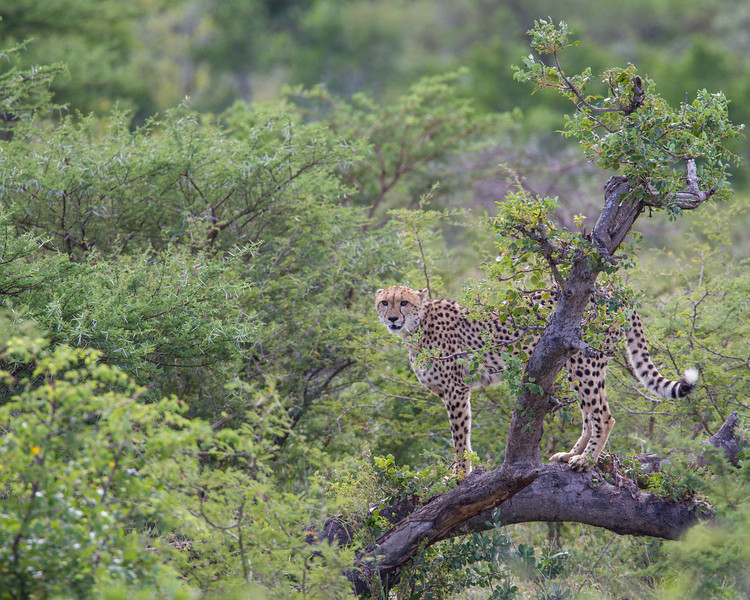 An adult cheetah (Acinonyx jubatus) on a tree. Taken in the Imfolozi Game Reserve, South Africa, Africa. The species is listed as vulnerable on the IUCN Red List of Threatened Species at iucnredlist.org.