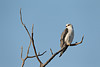 A female black-shouldered kite (Elanus caeruleus) atop a perch, waiting for the male, who flew in seconds later to mate with her. Taken in Kgalagadi Transfrontier Park, South Africa, Africa.