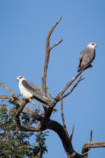 A pair of black-shouldered kite (Elanus caeruleus). Taken in Kgalagadi Transfrontier Park, South Africa, Africa.