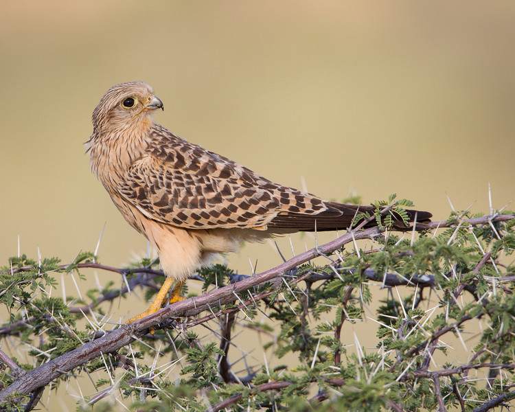 An immature (juvenile) greater kestrel (Falco rupicoloides). The species is also known as the white-eyed kestrel, although the immature's eye is dark. Taken in Kgalagadi Transfrontier Park, South Africa, Africa.