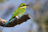 A swallow-tailed bee-eater (Merops hirundineus). Taken in Kgalagadi Transfrontier Park, South Africa, Africa.