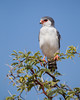 """The Pygmy""  A pygmy falcon (Polihierax semitorquatus). They definitely are small and this was the first time I had been able to take a good photo of this beautiful, much-sought-after species. Taken in Kgalagadi Transfrontier Park, South Africa, Africa."