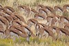 A large herd of springbok (Antidorcas marsupialis) feed with heads down. Taken in Kgalagadi Transfrontier Park, South Africa, Africa.