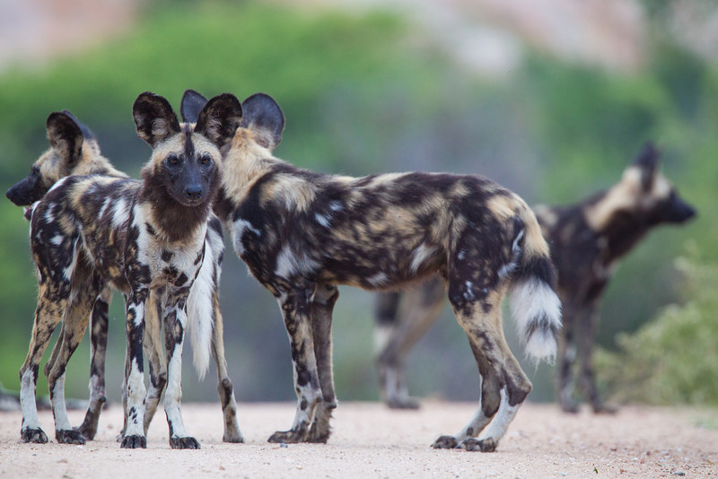 A pack of African wild dogs (Lycaon pictus) in Kruger National Park, South Africa, Africa. The species is listed as endangered on the IUCN Red List of Threatened Species at iucnredlist.org.
