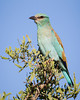 A European roller (Coracias garrulus). Taken in Kruger National Park, South Africa.