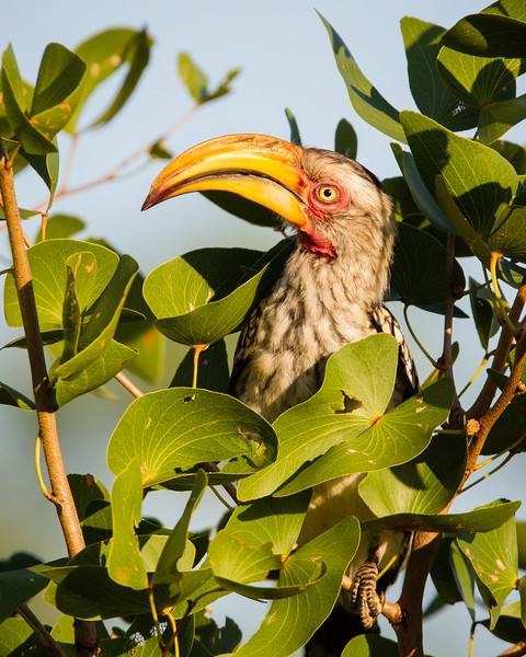 A Southern yellow-billed hornbill (Tockus leucomelas). Taken in Kruger National Park, South Africa, Africa.