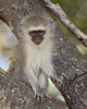 A young vervet monkey (Chlorocebus aethiops) pauses on the branch of a tree. Taken in Kruger National Park, South Africa, Africa.