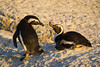 A pair of courting African penguins (Spheniscus demersus). Taken at Boulders Beach, Simon's Town, South Africa, Africa. The bird is also known as the Black-footed penguin or the Jackass penguin.  The species is listed as endangered on the IUCN Red List of Threatened Species at iucnredlist.org.