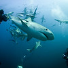 Tiger Shark and Black Tip Sharks