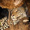 The Leopard has wormed its way it between a couple of large limbs and quietly observes what is happening.