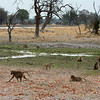 Yellow Baboon troop in swampy  Okavango Delta lands  Botswana
