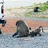 Chacma Baboon and babies feeding on handouts from tourists