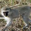 111 Vervet Monkey, Kruger National Park