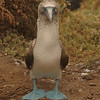 Barbara the Blue-Footed Booby - Galapagos Islands