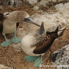 Blue Footed Booby Dance - Galapagos Islands
