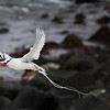 Red-billed Tropicbird; Espanola Island; Galapagos Islands