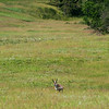 Pronghorn, Wildlife Loop