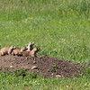 Prairie dogs, Wildlife Loop