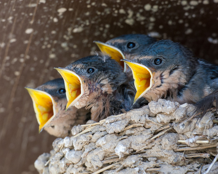 Barn swallow (Hirundo rustica) nestlings hungrily await food from their parents. Taken in Custer State Park, South Dakota, USA.