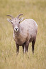 A bighorn sheep (Ovis canadensis) ewe in Badlands National Park, South Dakota, USA.