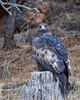 A golden eagle (Aquila chrysaetos) perches on the stump of a tree. Taken in Custer State Park, South Dakota, USA.