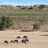 Gemsbokplein Waterhole with Blue Wildebeest, Kgalagadi Transfrontier Park, South Africa