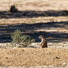 Cape Ground Squirrel, Kgalagadi Transfrontier Park, Botswana