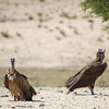 Cape Vulture and Lappet-faced Vulture, Kgalagadi Transfrontier Park, South Africa