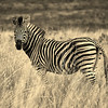 A Plains zebra (Equus quagga) in Welgevonden Game Reserve, Limpopo Province, South Africa.