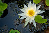 Water Lilly, Grand Bay Wildlife Preserve