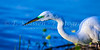 Close-up of the Great White Egret fishing at the Venice Bird Rookery in Venice, Florida, USA.