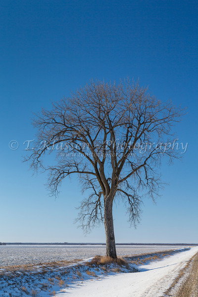 A lone tree and rural road in winter near Winkler, Manitoba, Canada.