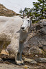 A mountain goat in molt near Logan Pass, Glacier National Park, Montana, USA.