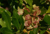 """<i>Dodonaea viscosa</i> (leaves and fruits)<br>PhotoID=PT20050305-007086<br><br>Copyright ©2005 by Philip A. Thomas.  Contact <a href=""""mailto:imagesbypt@philipt.com"""">imagesbypt@philipt.com</a> for permission to use.<br>More images of this species by this photographer may be found here: <a href=""""http://philipt.smugmug.com/search/?searchType=InUser&NickName=philipt&searchWords=Dodonea+viscosa"""">Search for more images by PT</a>"""
