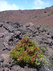 """<i>Dodonaea viscosa</i> fruiting at edge of red lava flow in Haleakala National Park (Maui, Hawaii) (August 13, 2004).<br>PhotoID=starr-040813-0201<br><br>Photo by Forest and Kim Starr.  If you'd like to use this image, please see their <a href=""""http://hear.org/starr/imageusepolicy.htm"""" title=""""FSKS image use policy"""">image use policy</a>.<br>More images of this species by these photographers can be found here: <a href=""""http://www.hear.org/starr/images/search/?q=xxgenus+xxspecies&o=plants"""">Search for more Starr images on HEAR.org</a>"""