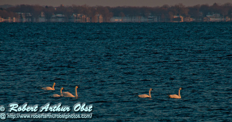 Cross country skiers winter view southeast with late afternoon light across Lake Mendota from Governor Nelson State Park of snow geese swimming (USA WI Middleton; Obst FAV 2013 Sports Fun Extraordinaire D300s Image 4490-B)
