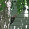Pileated On Ash July 12th