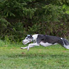 Whippet's name, Georgie Girl, Filename, BCWC-02P4279-10x16