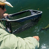 Dax Messett releasing a Fall River rainbow trout, 2014-07-05