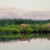 Buck grazing on the banks of the Fall River, 2014-07-05
