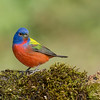Painted Bunting<br /> Galveston, TX 2014
