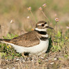 Killdeer on Eggs<br /> Galveston, TX 2014