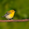 Prothonotary Warbler<br /> Galveston, TX 2014