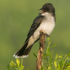 Eastern Kingbird<br /> Galveston, TX 2014