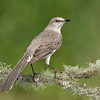 Northern Mockingbird<br /> Galveston, TX 2014