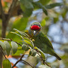 Crimson-fronted Barbet / Ceylon Small Barbet